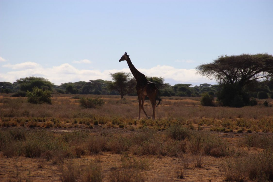 Encounter with a giraffe during the Kenya Classic. ©Annajo.