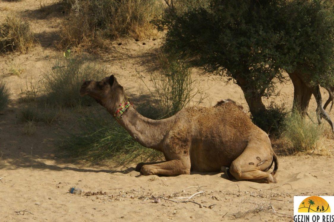 Camel resting in the Thar Desert. ©Gezin op Reis.