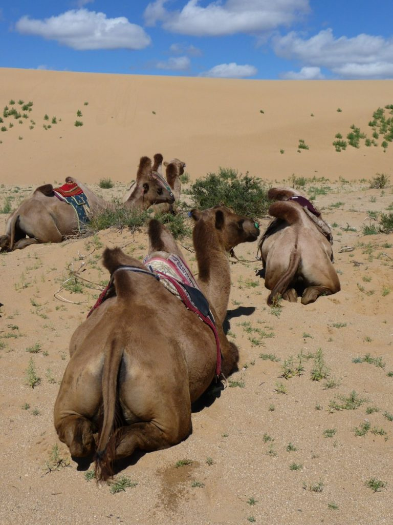 Camels resting in the sand. ©Bunch of Backpackers