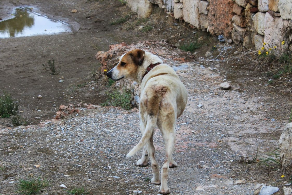 Street dog in Athens.