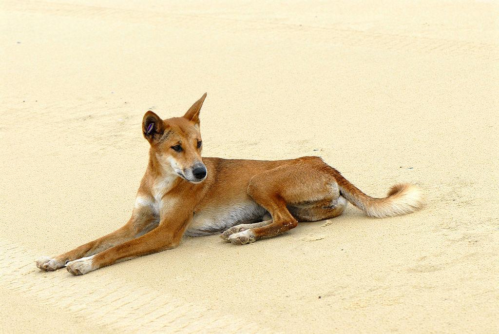 Fraser Island Dingo II (1)