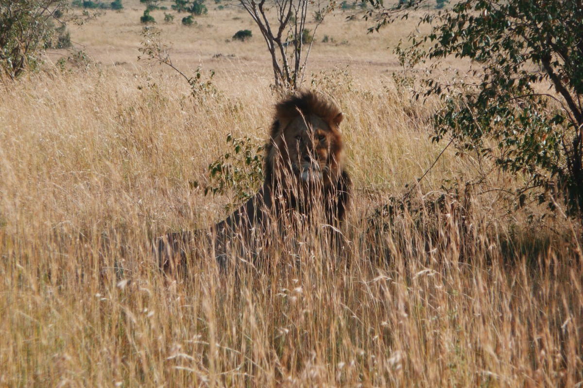 The lion awakes because a guide in another safari truck threw a small rock at him. ©Bunch of Backpackers