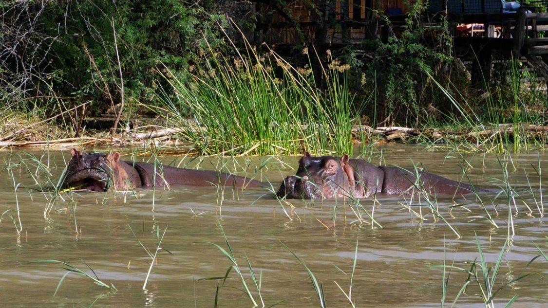 Hippos in front of our porch. ©Bunch of Backpackers.