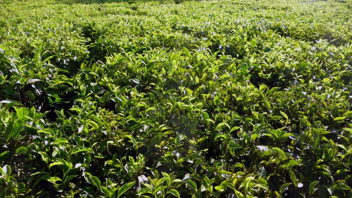 Kisumu tea fields. ©Bunch of Backpackers.