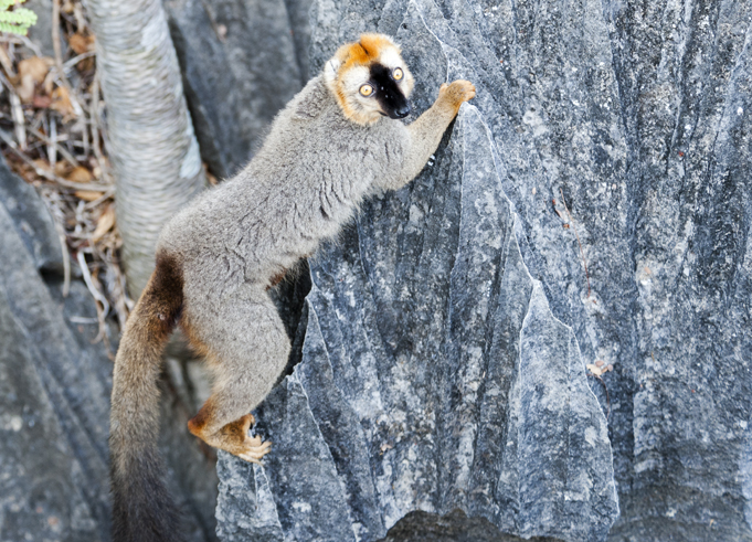 A brown lemur climbing over the limestone pinnacles of Tsingy de Bemaraha National Park.