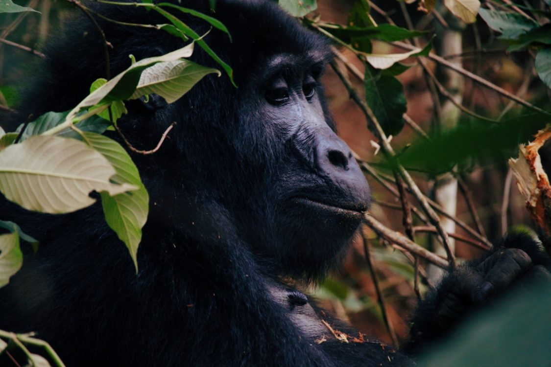 Gorilla encounter in Bwindi National Park, Uganda.